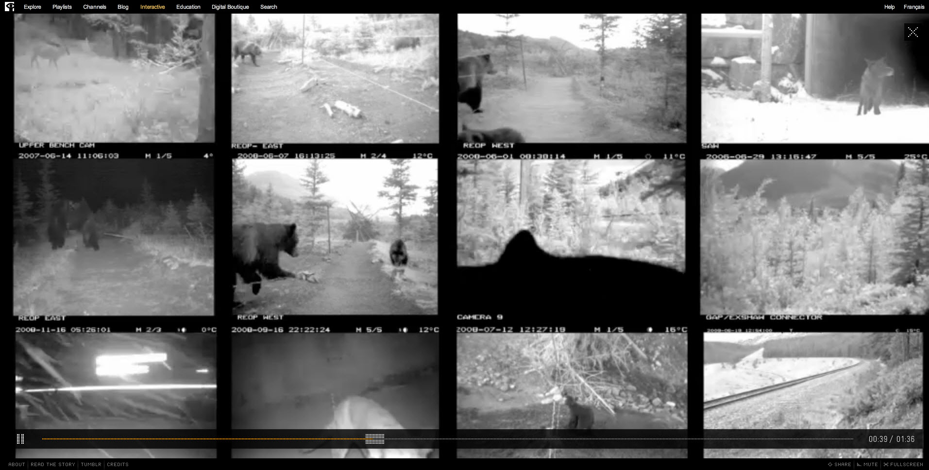 Bear 71 Footage